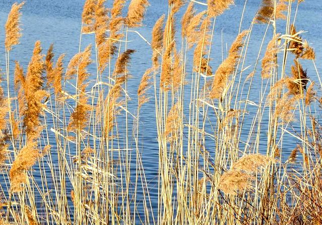 20120219-grasses on the reservoir DSC_0699