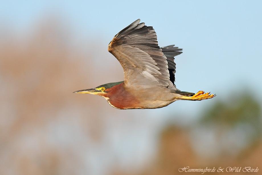 Green Heron 022412-11
