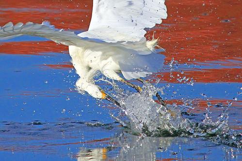 bird nature waterbird juvenile egret snowyegret egrets wader egretta thula swflorida