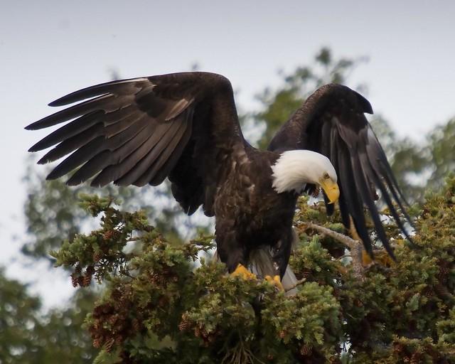 Águila calva en el Parque Nacional de los Fiordos de Kenai. Alaska.