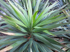 flower(0.0), ti plant(0.0), saw palmetto(0.0), plant stem(0.0), agave(1.0), leaf(1.0), tree(1.0), plant(1.0), flora(1.0), agave azul(1.0),