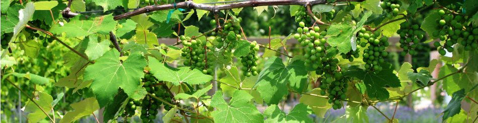 The Vineyard in the Heartland Harvest Garden