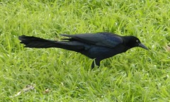 Great-tailed grackle foraging