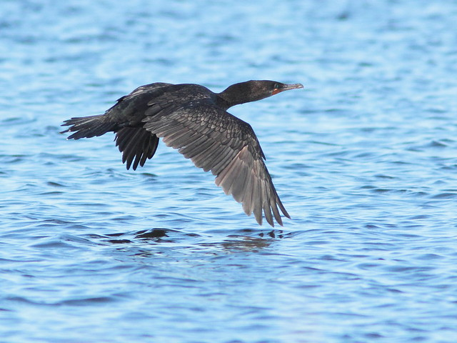 Double-crested Cormorant 2-20120213