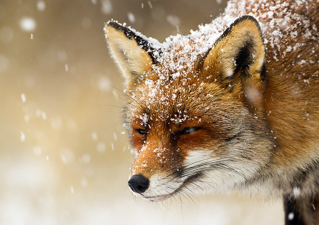 red fox in snow - photo #29