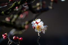 Plum blossoms Beauty