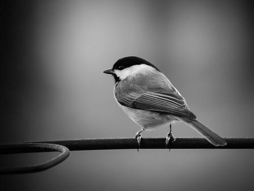 blackandwhite bw bird nature feeder backyardbird carolinachickadee feederbird tc14 14xtc olympuse510 zuiko50200mmf28swd