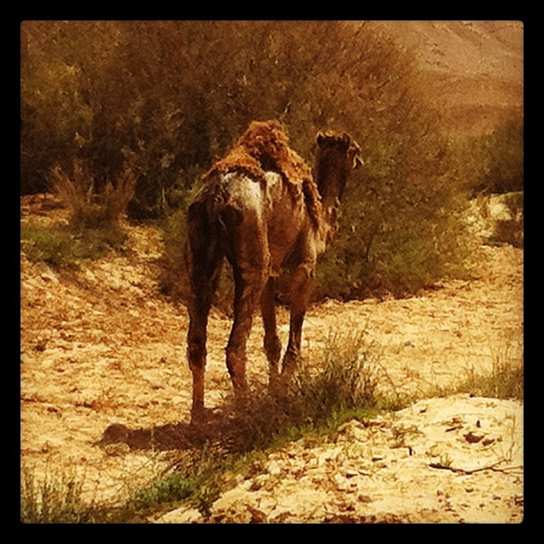 Camel helping us reenact the exodus