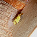 Small photo of Agapeta zoegana. Tortricidae