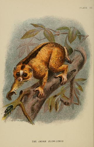 012-El perezoso Loris de Java-A hand-book  to the primates-Volume 1-1896- Henry Ogg Forbes