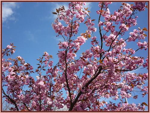 Lovely Pink Blossom