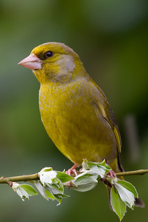 IMG_5617 Greenfinch