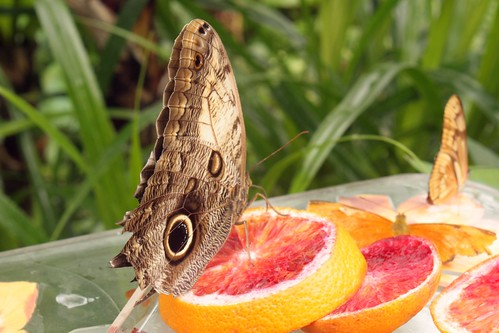 uilenvlinder hortus botanicus