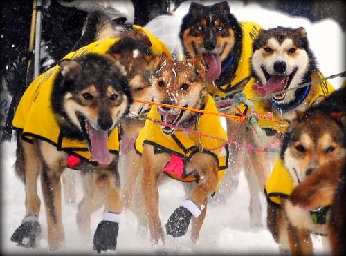 Happy, Happy, Happy, Happy!  - Iditarod Dogs