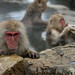 Japanese snow monkeys 2