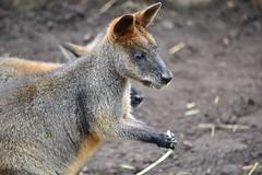 kangaroo(0.0), jackal(0.0), grey fox(0.0), dhole(0.0), kit fox(0.0), wallaby(1.0), animal(1.0), mammal(1.0), fauna(1.0), macropodidae(1.0), wildlife(1.0),
