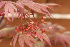 Fächerahorn Blüte (Acer palmatum)