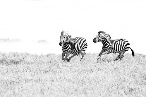 Zebras chasing each other...