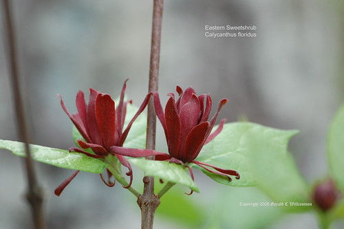Eastern Sweetshrub - Calycanthus floridus by USWildflowers, on Flickr