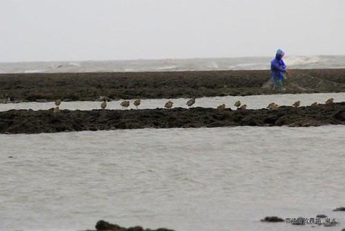 觀音新屋溪口藻礁生態豐富,這一排在岸邊等待的鳥兒最知道。(攝影:呂東杰)