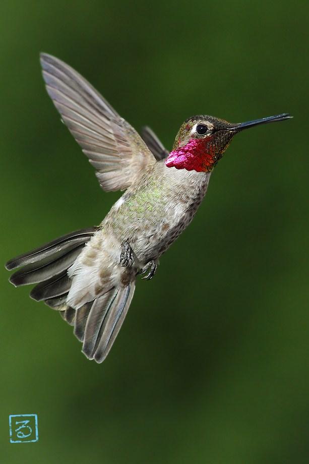 Anna's Hummingbird 042612