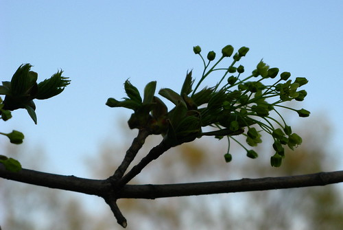 Bud Bursting