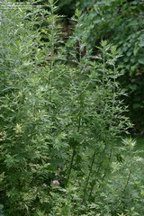 Mugwort - Late Season