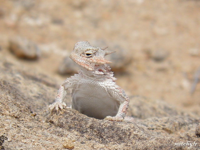 Horned Lizard 1