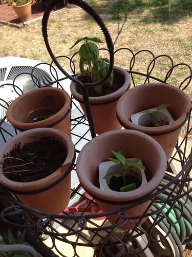 New pepper plants, 5/7/12
