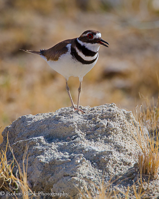 Killdeer (Charadrius vociferus), Owens Lake