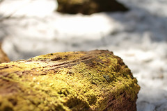 Sunlight on a Moss Covered Log