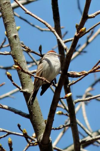 #48 Chipping Sparrow (Spizella passerina)