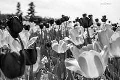 Tulips, Black and White