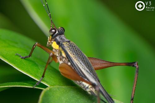 Asian Bush Cricket (Nisitrus vittatus)