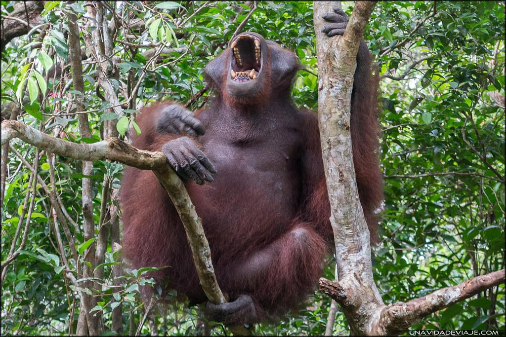 orangutanes Tanjung Puting borneo