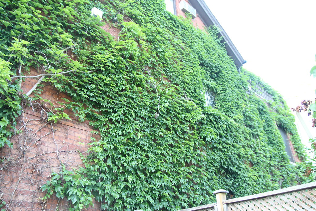 Ivy on side of building 2