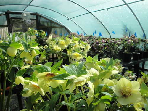 Helleborus 'Golden Sunrise' in stock house 2