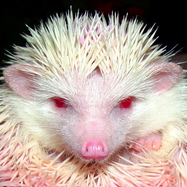 Albino African Pigmy Hedgehog - headshot | Flickr - Photo ...