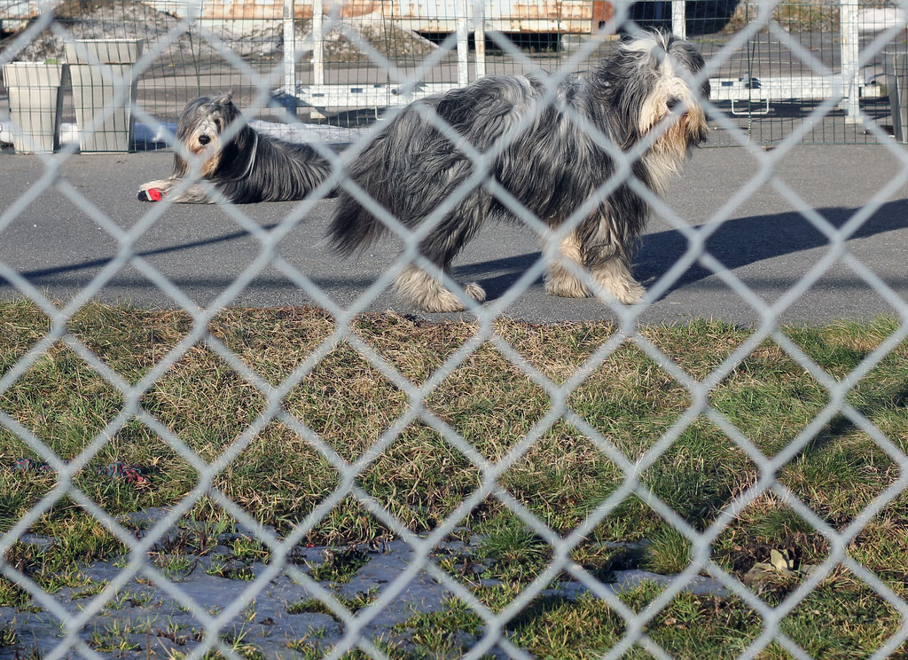 Fenced in Dogs