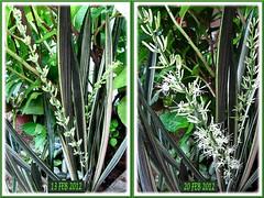 Sansevieria trifasciata 'Bantel's Sensation' blooming again - Feb 2012