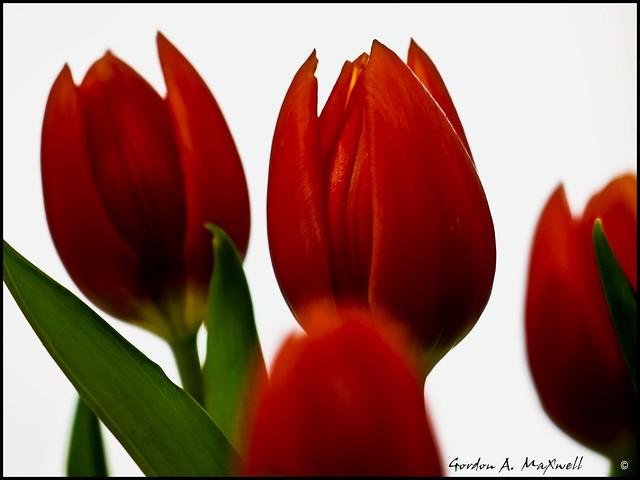 Tulips B1