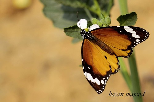plain tiger or african monarch.