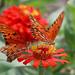 Butterflies by danniepolley