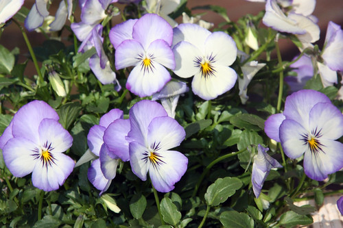 Violas by Flower Factor