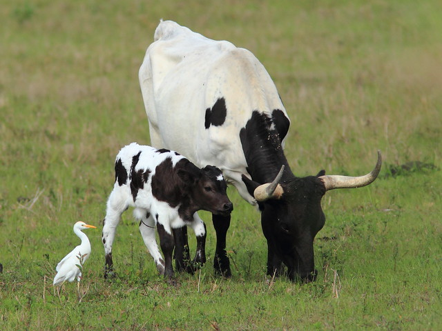 Cattle Egret cow and calf 20120309