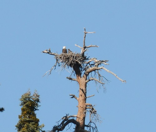 Baby bald eagle Jack, right, in his nest. Photo credit: Robin Eliason, District Wildlife Biologist, San Bernardino National Forest, Mountaintop Ranger District