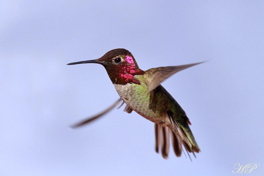 Anna's Hummingbird 020812-4