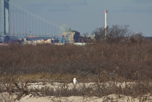 Snowy Owl in the Big Apple