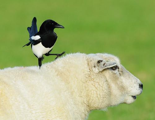 Eurasian Magpie (pica pica) - Pie Bavarde  - EXPLORE # 173