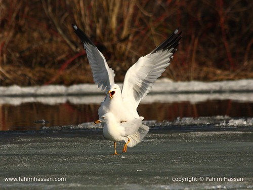 Courtship of Ring-billed Gull